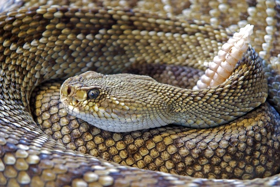 northern-pacific-rattlesnake